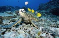 甲羅に着いた藻類を魚に食べてもらうアオウミガメ
