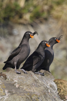 Crested Auklet (Aethia cristatella) three adults, standing o