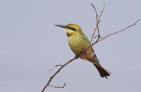 Rainbow Bee-eater (Merops ornatus) adult female, perched on
