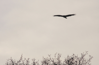 Common Buzzard (Buteo buteo) adult, in flight, silhouetted o