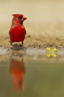 Northern Cardinal (Cardinalis cardinalis) adult male, drinki 32259000128| 写真素材・ストックフォト・画像・イラスト素材|アマナイメージズ