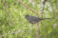 Grey Catbird (Dumetella carolinensis) adult, perched on twig