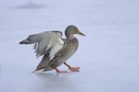 Mallard Duck (Anas platyrhynchos) adult female, landing on s