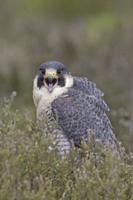 Peregrine Falcon (Falco peregrinus) adult, calling, standing