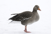 Greylag Goose (Anser anser) adult, standing on snow in city