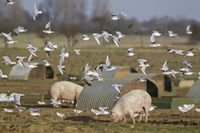 Black-headed Gull (Larus ridibundus) flock, winter plumage,