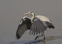Grey Heron (Ardea cinerea) adult, with wings spread, walking 32259000630| 写真素材・ストックフォト・画像・イラスト素材|アマナイメージズ
