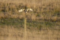 Short-eared Owl (Asio flammeus) adult, in flight, taking off