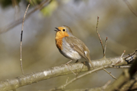 European Robin (Erithacus rubecula) adult, singing, perched