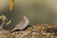 Rock Sparrow (Petronia petronia) adult, standing at edge of  32259001179  写真素材・ストックフォト・画像・イラスト素材 アマナイメージズ