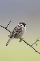 Eurasian Tree Sparrow (Passer montanus) adult, perched on tw