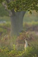 Fallow Deer (Dama dama) fawn, standing amongst vegetation at 32259001634| 写真素材・ストックフォト・画像・イラスト素材|アマナイメージズ