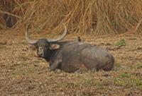 Wild Water Buffalo (Bubalus arnee fulvus) adult, chewing cud 32259002136| 写真素材・ストックフォト・画像・イラスト素材|アマナイメージズ