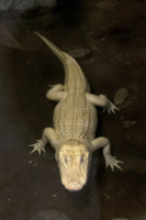 American Alligator (Alligator mississipiensis) albino, adult