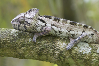 Warty Chameleon (Furcifer verrucosus) adult, resting on bran