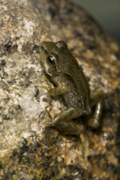 Common Frog (Rana temporaria) juvenile, emerging from water,