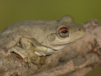 Roth's Frog (Litoria rothii) adult, sitting on branch, Weste