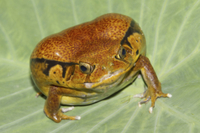 Malagasy Tomato Frog (Dyscophus antongilii) adult, inflated