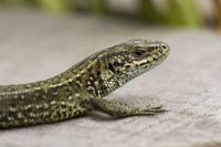 Common Lizard (Zootoca vivipara) adult, close-up of head and