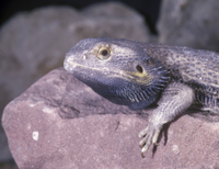 Bearded Dragon (Amphibolurus barbatus)    On rock - close-up