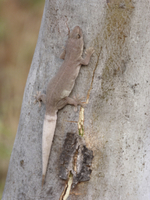 Common House Gecko (Hemidactylus frenatus) introduced specie