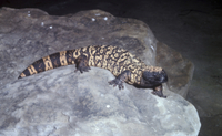 Gila Monster Lizard (Heloderma suspectum)    On rock  (S)