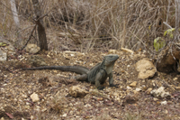 Grand Cayman Rock Iguana (Cyclura lewisi) adult, standing on