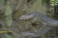Water Monitor (Varanus salvator) adult, close-up of head wit