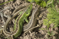 Sand Lizard (Lacerta agilis) adult pair, basking together, M
