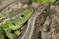 Sand Lizard (Lacerta agilis) adult pair, close-up of heads,
