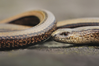 Slow-worm (Anguis fragilis) adult female, close-up of head,
