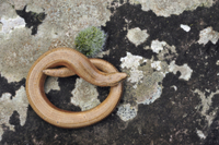 Slow-worm (Anguis fragilis) adult male, absorbing heat from