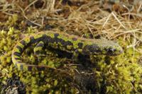 Marbled Newt (Triturus marmoratus) adult, terrestrial phase,