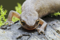 Palmate Newt (Triturus helveticus) adult female, close-up of
