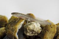 Palmate Newt (Lissotriton helveticus) larva, resting on grav