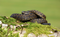 European Adder (Vipera berus) adult female, basking, coiled