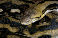 Reticulated Python (Python reticulatus) adult, close-up of h
