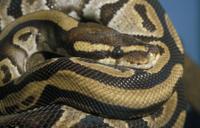 Royal Python (Python reglus)