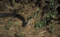 Everglades Racer Snake(Coluber constrictor paludicola)