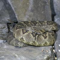Snake - Rattlesnake Diamond-backed Western(Crotulus atrox) c