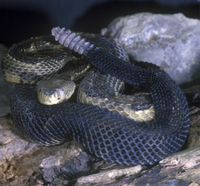 Timber Rattlesnake (Crotalus horridus) On rocks - Yellow pha