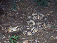 Gaboon Viper (Bitis gabonica)   Curled up on ground - South