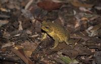 Cane Toad (Bufo marinus) Australia