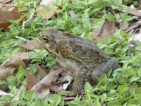 Cane Toad (Rhinella marinus) introduced species, adult, sitt