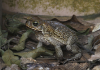 Cane Toad (Rhinella marinus) introduced species, adult, fora