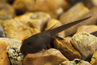 Common Toad (Bufo bufo) tadpole, undergoing metamorphosis, w