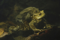 Common Toad (Bufo bufo) adult pair, in amplexus, in underwat
