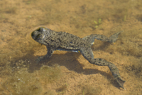 Yellow-bellied Toad (Bombina variegata) adult, swimming in p