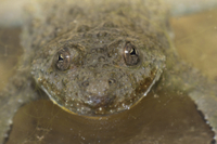 Yellow-bellied Toad (Bombina variegata) adult, close-up of h