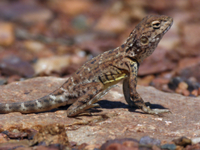 Pebble Dragon (Tympanocryptis cephalus) adult, standing on r